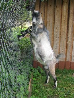Сельскохозяйственные животные - Продаются козлы и козлики, 0