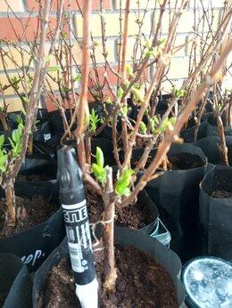 Рассада, саженцы, кустарники, деревья - Жимолость, 0