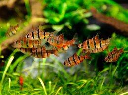 Аквариумные рыбки - Барбус пятиполосый, 0
