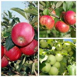 Рассада, саженцы, кустарники, деревья - яблоня дерево-сад , 0