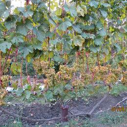 Рассада, саженцы, кустарники, деревья - Продаю на весну 2021 однолетние саженцы винограда сортов Самородок и Хамелеон, 0