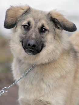 Собаки - Лея. 1,5 года. Ищет семью, 0