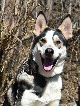 Собаки - Фенотип лайки, 0
