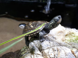 Рептилии - Черепаха китайская трехкилевая, 0