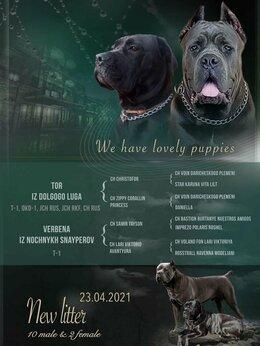 Собаки - Щенки Итальянский Кане Корсо, 0