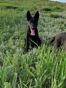 Собаки - Щенки немецкой овчарки рабочего разведения, 0
