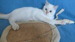 Кошки - Голубоглазый котенок Шумик, 0