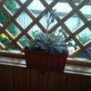 Каменная роза по цене 300₽ - Комнатные растения, фото 1