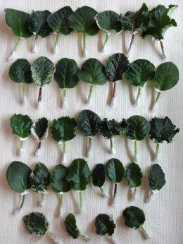 Комнатные растения - Набор фиалок, 0