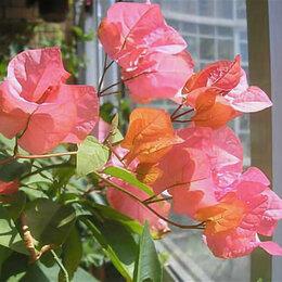 Комнатные растения - Бугенвиллия Bougainvillea Bois de rose биколор, 0