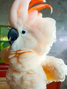 Птицы - Попугай молуккский какаду -птенцы выкормыши из…, 0