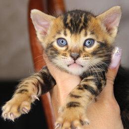Кошки - Бенгальское чудо , 0