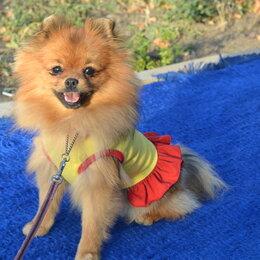 Собаки - Подрощенная девочка шпица на мягкий диванчик, 0
