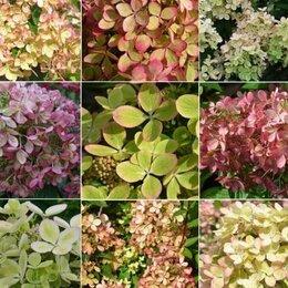 Рассада, саженцы, кустарники, деревья - Пастель Грин (Pastel Green) - Гортензия метельчатая, 0