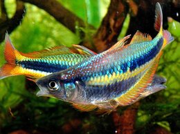 Аквариумные рыбки - Хилатерина радужница Аксельрода, 0