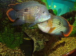 Аквариумные рыбки - Акара бирюзовая ПАРА., 0