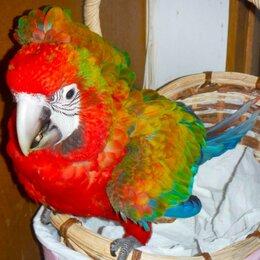 Птицы - Тропикана гибрид попугаев ара - птенцы из…, 0
