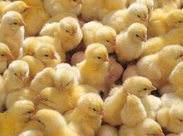 Товары для сельскохозяйственных животных - Инкубатор 104 яйца 220/12 Несушка автоматический…, 0