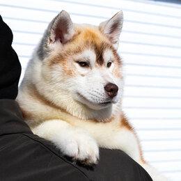 Собаки - Щенки Хаски от Чемпионов  , 0