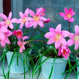 Комнатные растения - Зефирантес розовый, 0