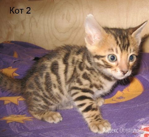Бенгалята по цене 15000₽ - Кошки, фото 0