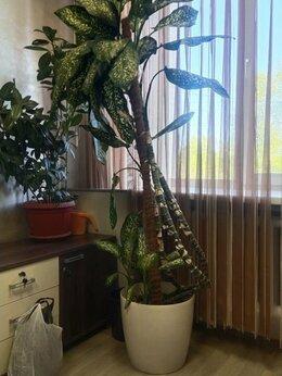Комнатные растения - Дифенбахия, 0