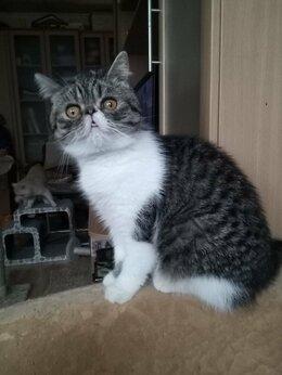 Кошки - кошки  ЭКЗОТИЧЕСКИЕ, 0