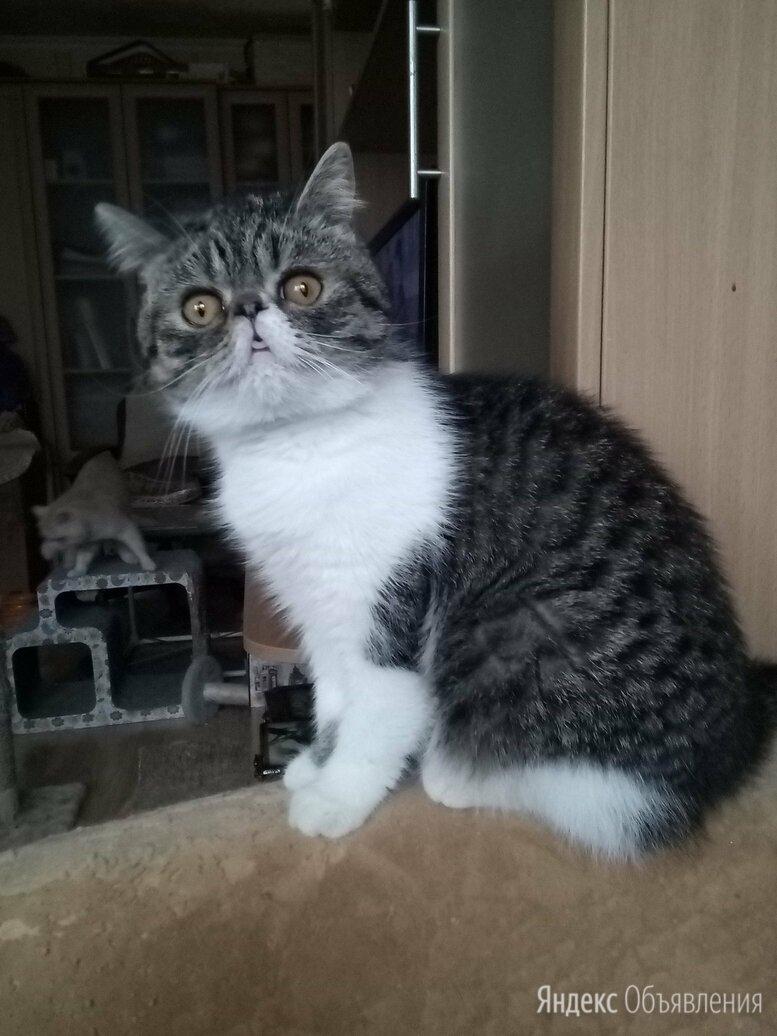 кошки  ЭКЗОТИЧЕСКИЕ по цене 5000₽ - Кошки, фото 0
