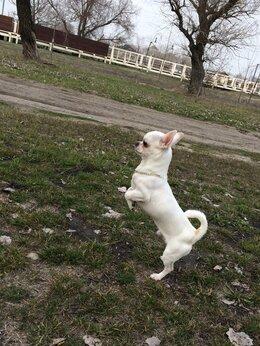 Собаки - Чихуахуа мини , 0