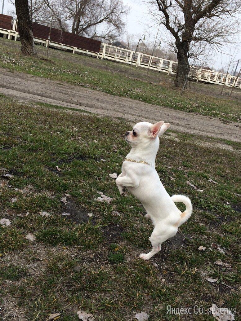 Чихуахуа мини  по цене 17000₽ - Собаки, фото 0