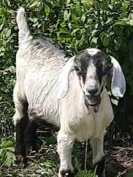 Сельскохозяйственные животные - Козлики, 0