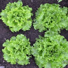 Лук-севок, семенной картофель, чеснок - Салат листовой Восторг, 0