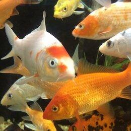 Аквариумные рыбки - Карп Кои, Комета, Шубункин - рыба для пруда, 0