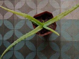 Комнатные растения - Алоэ столетник, 0