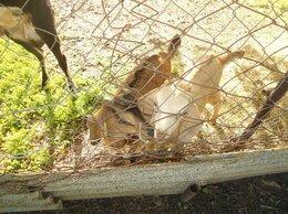 Сельскохозяйственные животные - Англо-нубийские козлики и козочки, 0