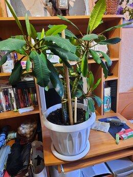 Комнатные растения - Цветок Молочай, 0