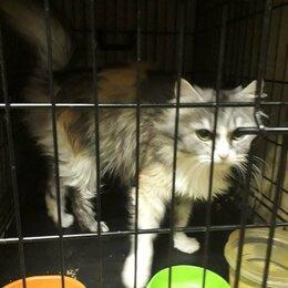 Кошки - Очень ласковая трехцветная кошка Багги, 0
