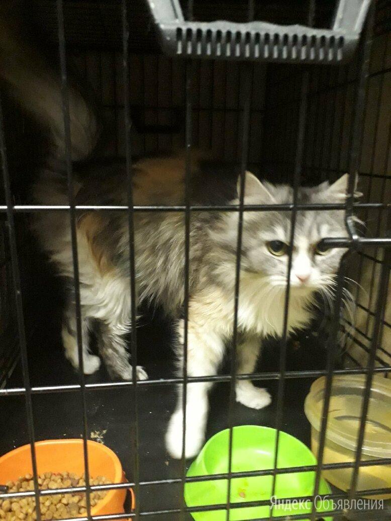 Очень ласковая трехцветная кошка Багги по цене даром - Кошки, фото 0