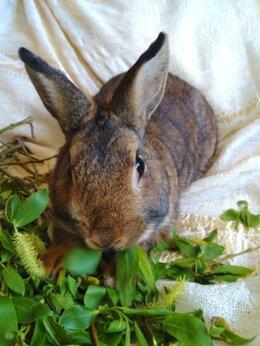 Кролики - Кролик карликовый агути (серо-коричнево-рыжий), 0