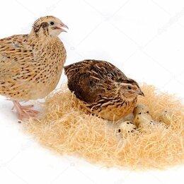 Птицы - Яйцо перепелиное инкубационное, 0