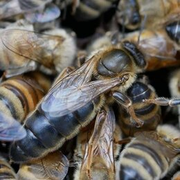 Сельскохозяйственные животные и птицы - Добрая Пасека мед. Пчеломатки плодные Карника F1. Без предоплаты, 0