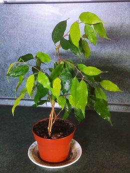 Комнатные растения - Фикус бенджамина неон, 0