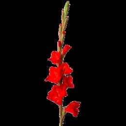 Луковичные растения - Флорико Гладиолус красный (цена за штуку),  см, 0