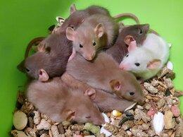Грызуны - Крысы. Крысята. Питомник Дамбо, 0
