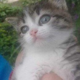 Кошки - Продам сибирских котят, 0