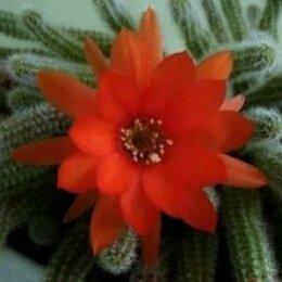 Комнатные растения - Кактус Хамецереус Сильвестра, 0