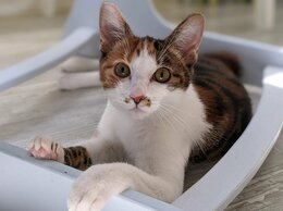 Кошки - Кошечка Лиза (Курильский бобтейл), 0