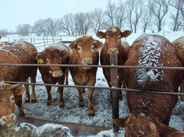 Сельскохозяйственные животные -  лимузины тёлки, 0