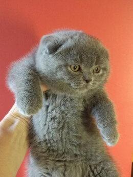 Кошки - голубые и лиловые вислоухие и прямоухие  котята, 0
