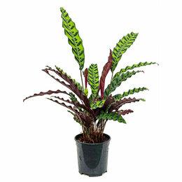 Комнатные растения - Калатея лансифолия Calathea lancifolia, 0